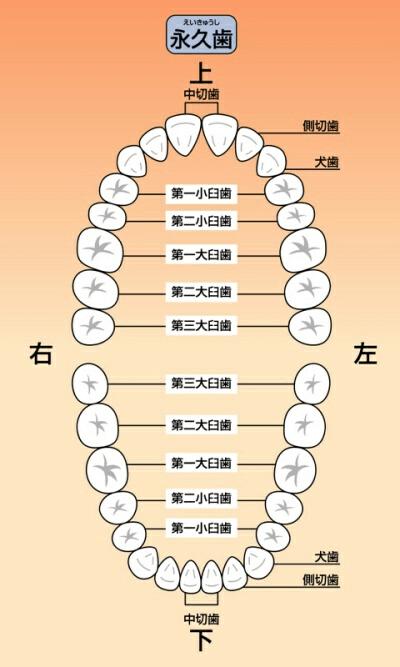 歯の数と性状